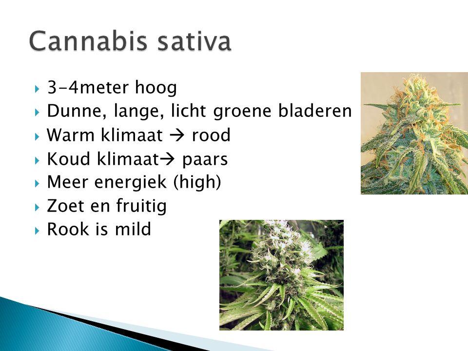  3-4meter hoog  Dunne, lange, licht groene bladeren  Warm klimaat  rood  Koud klimaat  paars  Meer energiek (high)  Zoet en fruitig  Rook is mild