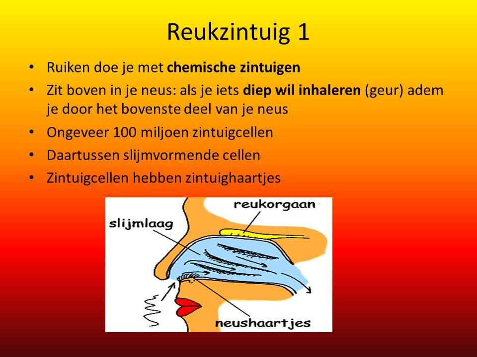 Reukzintuig 1 Ruiken doe je met chemische zintuigen Zit boven in je neus: als je iets diep wil inhaleren (geur) adem je door het bovenste deel van je neus Ongeveer 100 miljoen zintuigcellen Daartussen slijmvormende cellen Zintuigcellen hebben zintuighaartjes