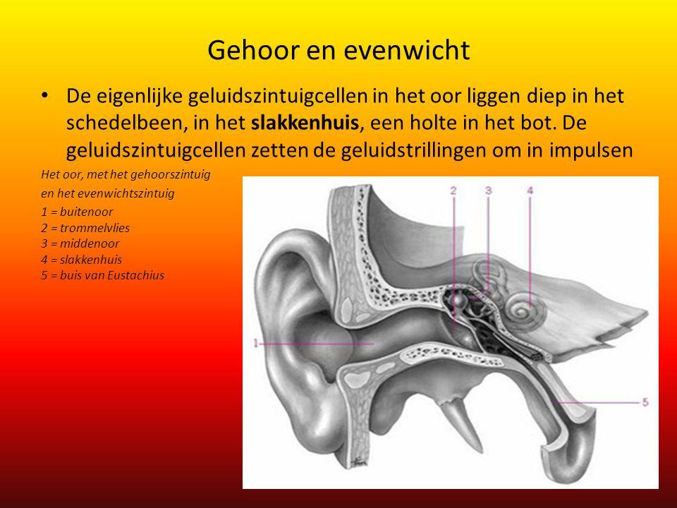 Gehoor en evenwicht De eigenlijke geluidszintuigcellen in het oor liggen diep in het schedelbeen, in het slakkenhuis, een holte in het bot. De geluids