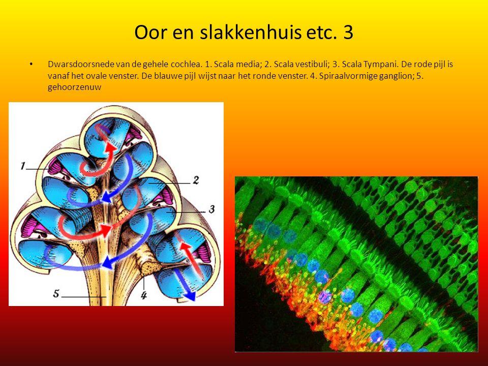 Oor en slakkenhuis etc. 3 Dwarsdoorsnede van de gehele cochlea. 1. Scala media; 2. Scala vestibuli; 3. Scala Tympani. De rode pijl is vanaf het ovale