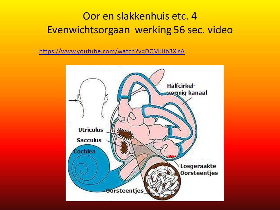 Oor en slakkenhuis etc. 4 Evenwichtsorgaan werking 56 sec. video https://www.youtube.com/watch?v=DCMHib3XIsA