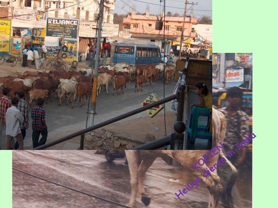 KOEIEN Heilige dieren in India