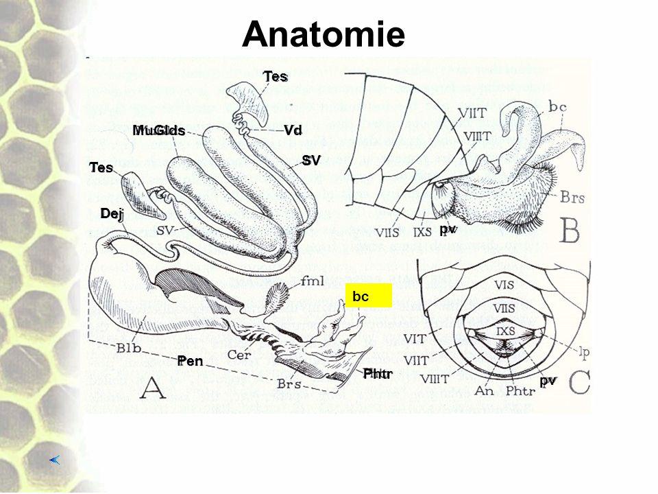 Anatomie Tes Vd SV MuGlds Tes Dej Pen Phtr bc pv