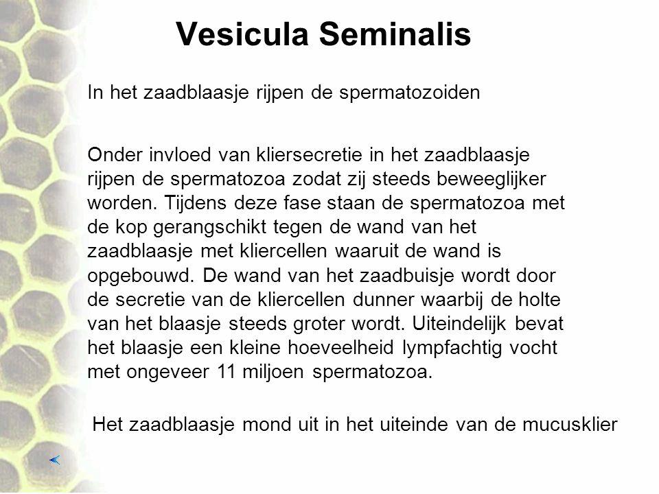Vesicula Seminalis In het zaadblaasje rijpen de spermatozoiden Het zaadblaasje mond uit in het uiteinde van de mucusklier Onder invloed van kliersecre
