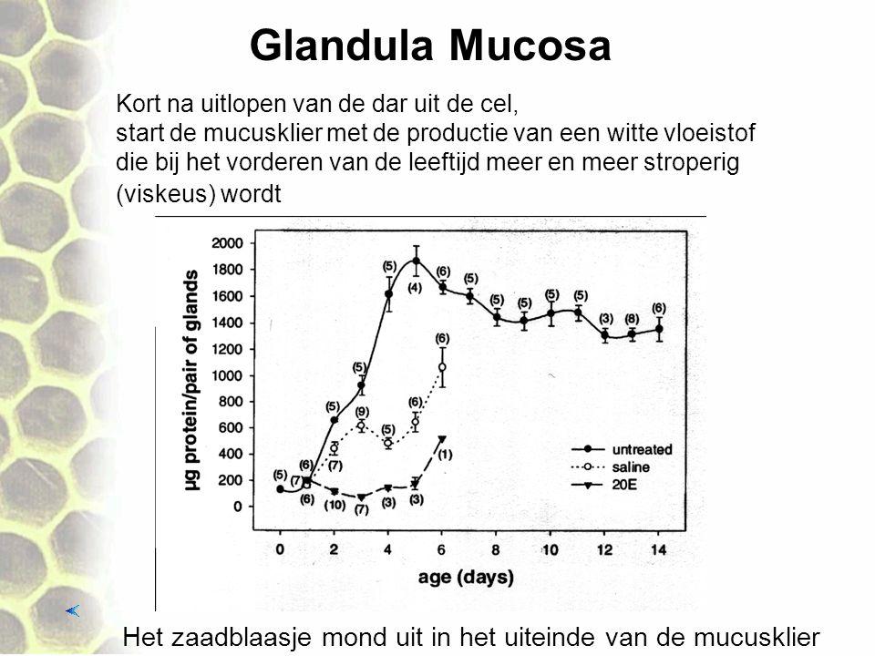 Glandula Mucosa Het zaadblaasje mond uit in het uiteinde van de mucusklier Kort na uitlopen van de dar uit de cel, start de mucusklier met de productie van een witte vloeistof die bij het vorderen van de leeftijd meer en meer stroperig (viskeus) wordt