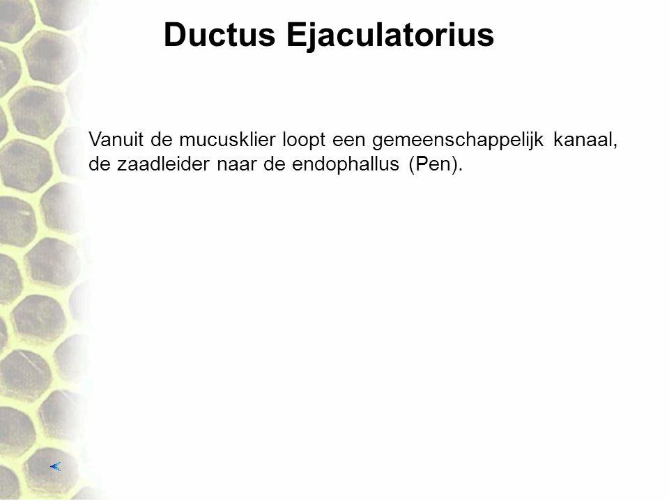 Ductus Ejaculatorius Vanuit de mucusklier loopt een gemeenschappelijk kanaal, de zaadleider naar de endophallus (Pen).