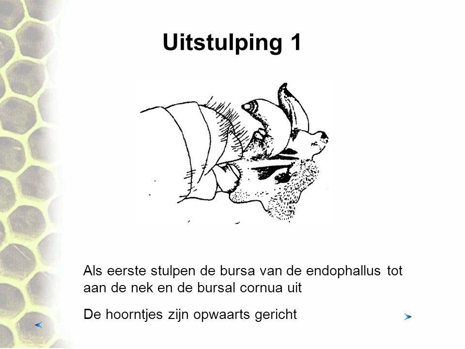 Uitstulping 1 Als eerste stulpen de bursa van de endophallus tot aan de nek en de bursal cornua uit De hoorntjes zijn opwaarts gericht