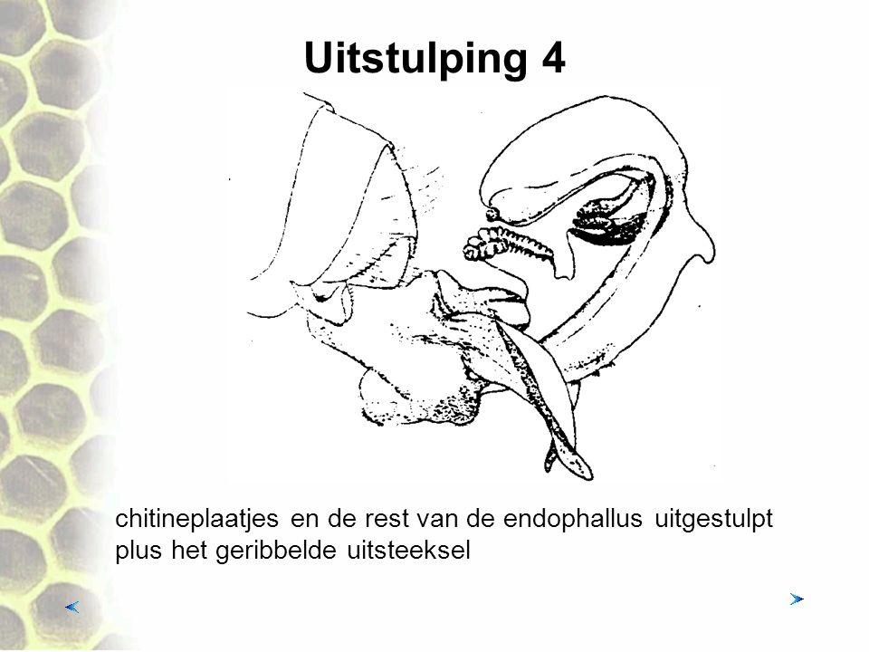 Uitstulping 4 chitineplaatjes en de rest van de endophallus uitgestulpt plus het geribbelde uitsteeksel