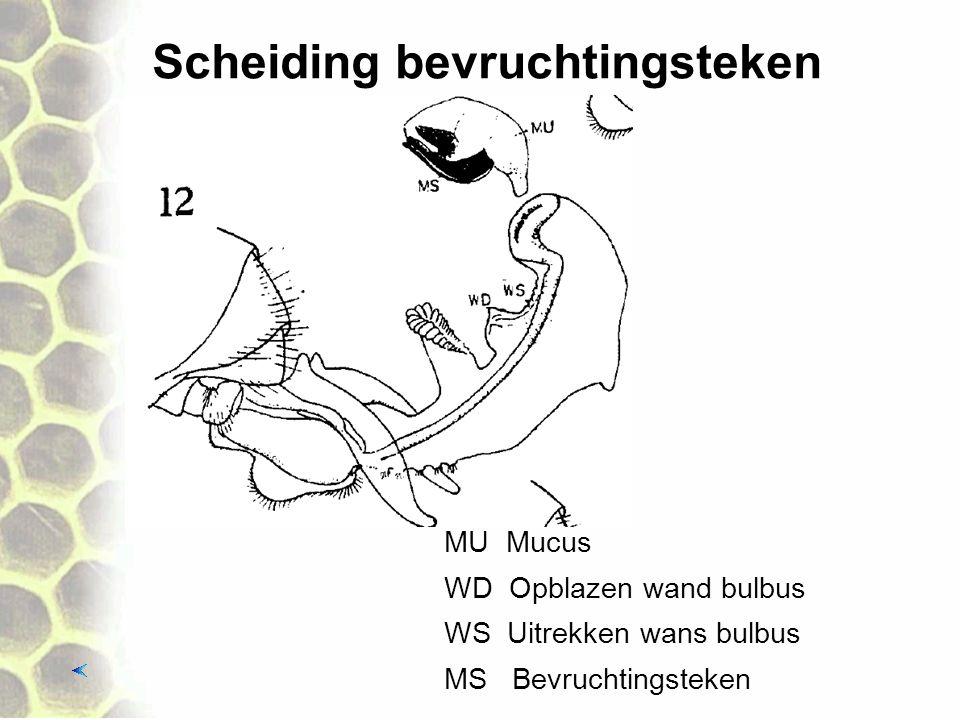 Scheiding bevruchtingsteken MU Mucus WS Uitrekken wans bulbus MS Bevruchtingsteken WD Opblazen wand bulbus