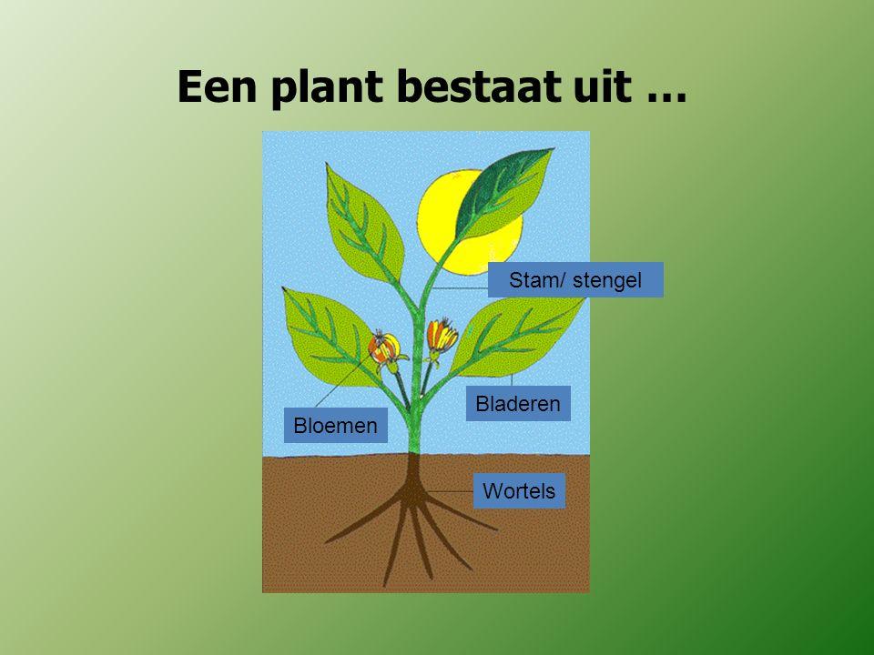 Een plant bestaat uit … Bloemen Bladeren Stam/ stengel Wortels