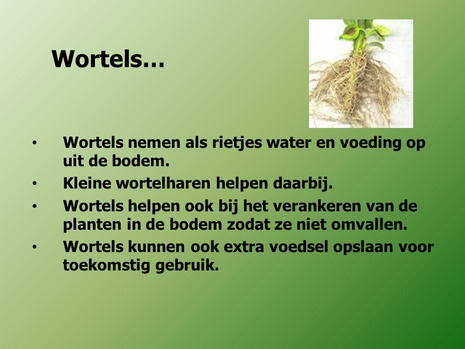 Wortels… Wortels nemen als rietjes water en voeding op uit de bodem. Kleine wortelharen helpen daarbij. Wortels helpen ook bij het verankeren van de p