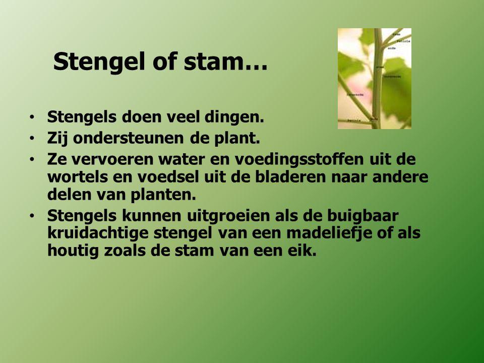 Stengel of stam… Stengels doen veel dingen. Zij ondersteunen de plant. Ze vervoeren water en voedingsstoffen uit de wortels en voedsel uit de bladeren