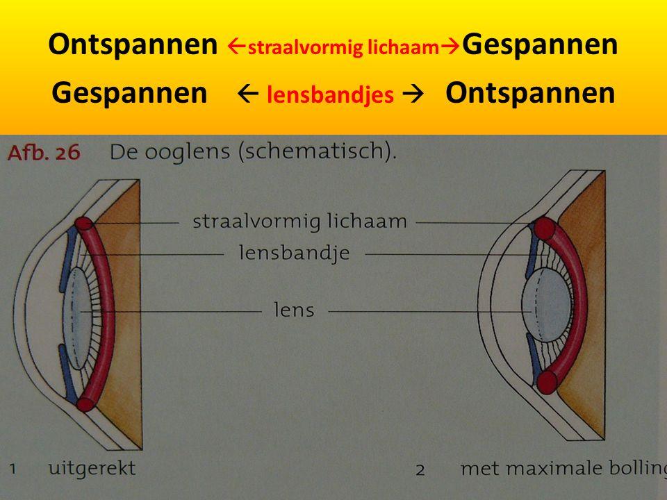 Ontspannen  straalvormig lichaam  Gespannen Gespannen  lensbandjes  Ontspannen