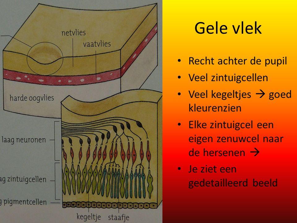Gele vlek Recht achter de pupil Veel zintuigcellen Veel kegeltjes  goed kleurenzien Elke zintuigcel een eigen zenuwcel naar de hersenen  Je ziet een