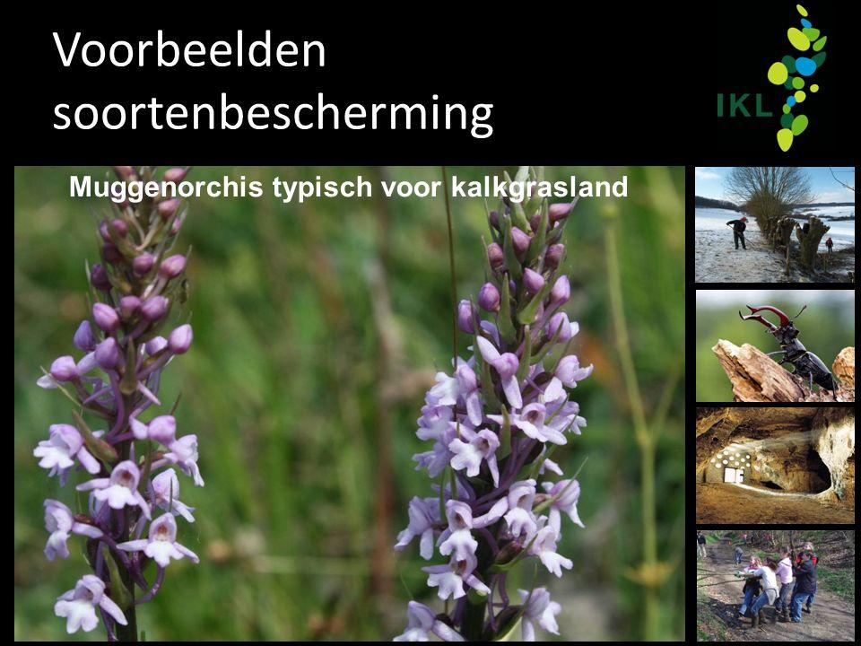 Voorbeelden soortenbescherming Muggenorchis typisch voor kalkgrasland