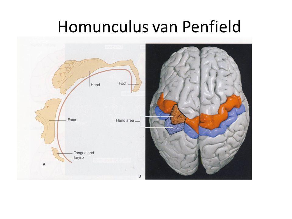 Homunculus van Penfield