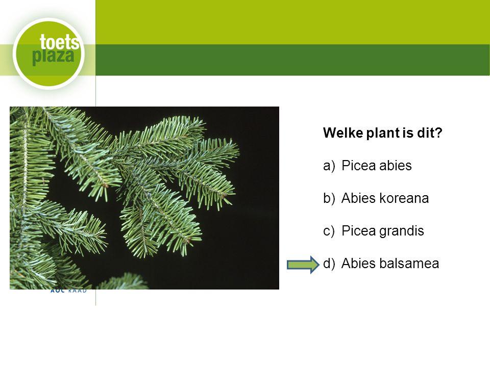 Welke plant is dit a)Picea abies b)Abies koreana c)Picea grandis d)Abies balsamea