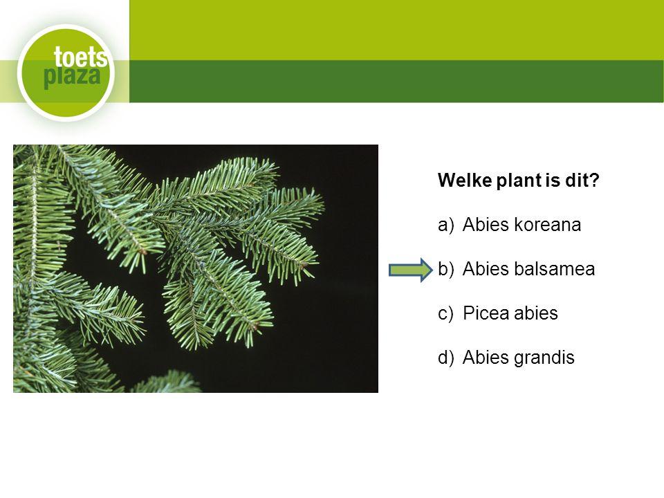 Welke plant is dit a)Abies koreana b)Abies balsamea c)Picea abies d)Abies grandis