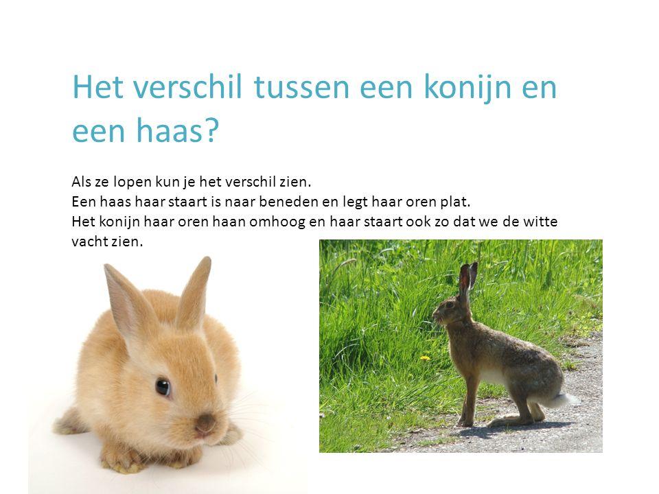 Het verschil tussen een konijn en een haas? Als ze lopen kun je het verschil zien. Een haas haar staart is naar beneden en legt haar oren plat. Het ko
