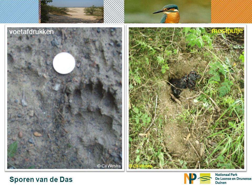 Sporen van de Das mestputje © Cil Westra voetafdrukken
