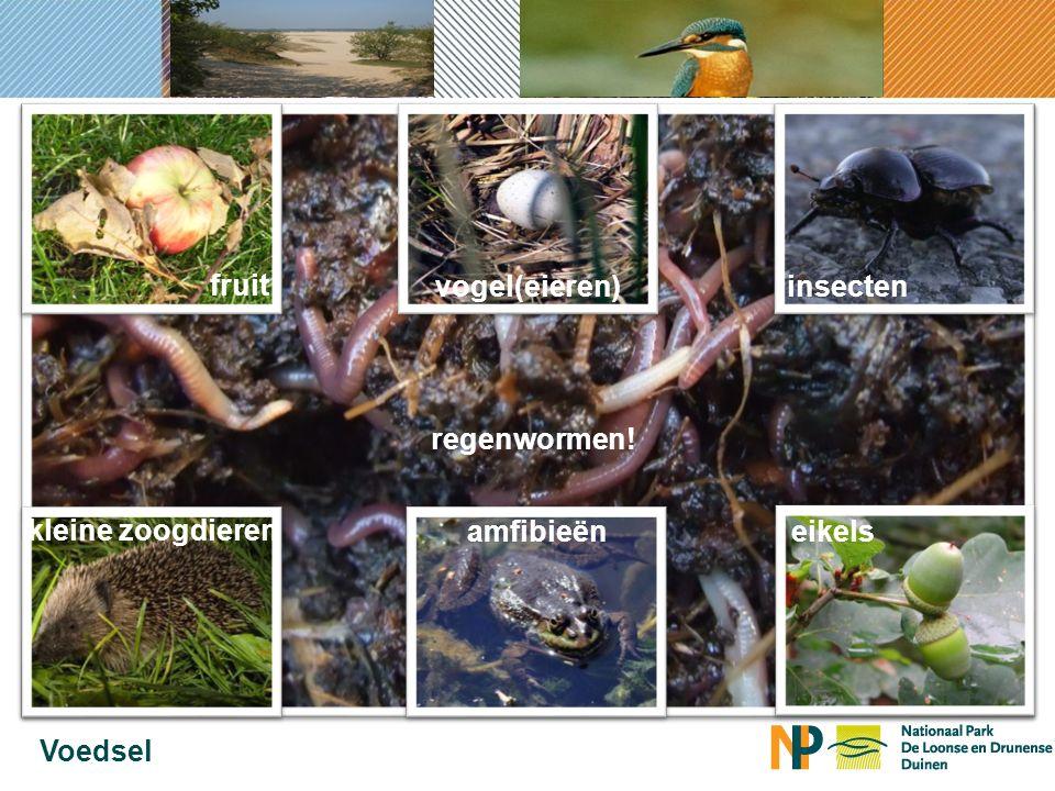 90% van het voedsel van de das bestaat uit… Voedsel regenwormen.