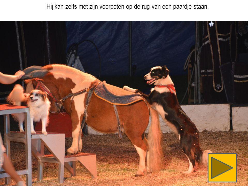 Hij kan zelfs met zijn voorpoten op de rug van een paardje staan.