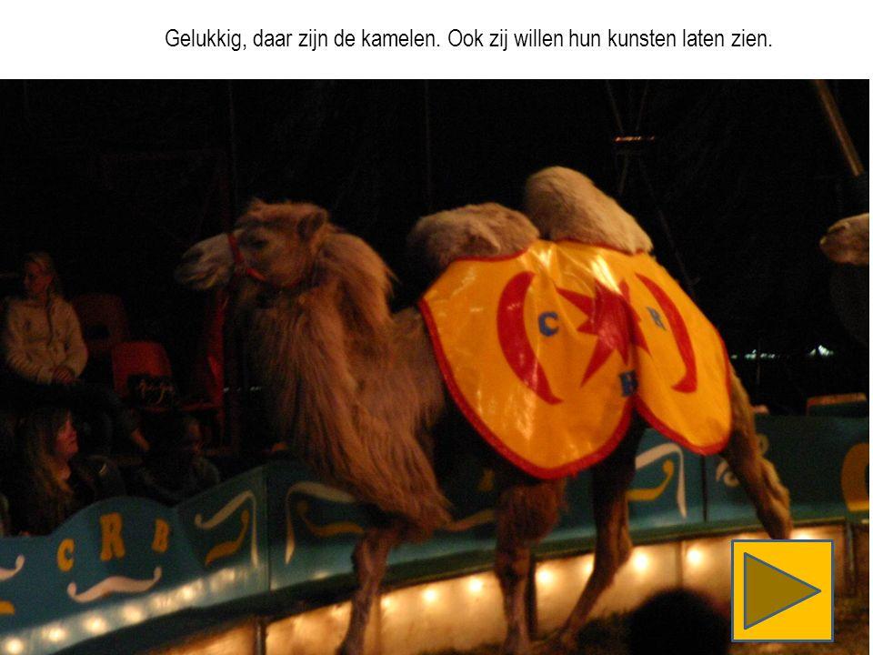 Gelukkig, daar zijn de kamelen. Ook zij willen hun kunsten laten zien.