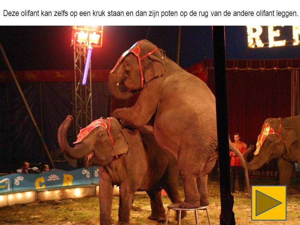 Deze olifant kan zelfs op een kruk staan en dan zijn poten op de rug van de andere olifant leggen.