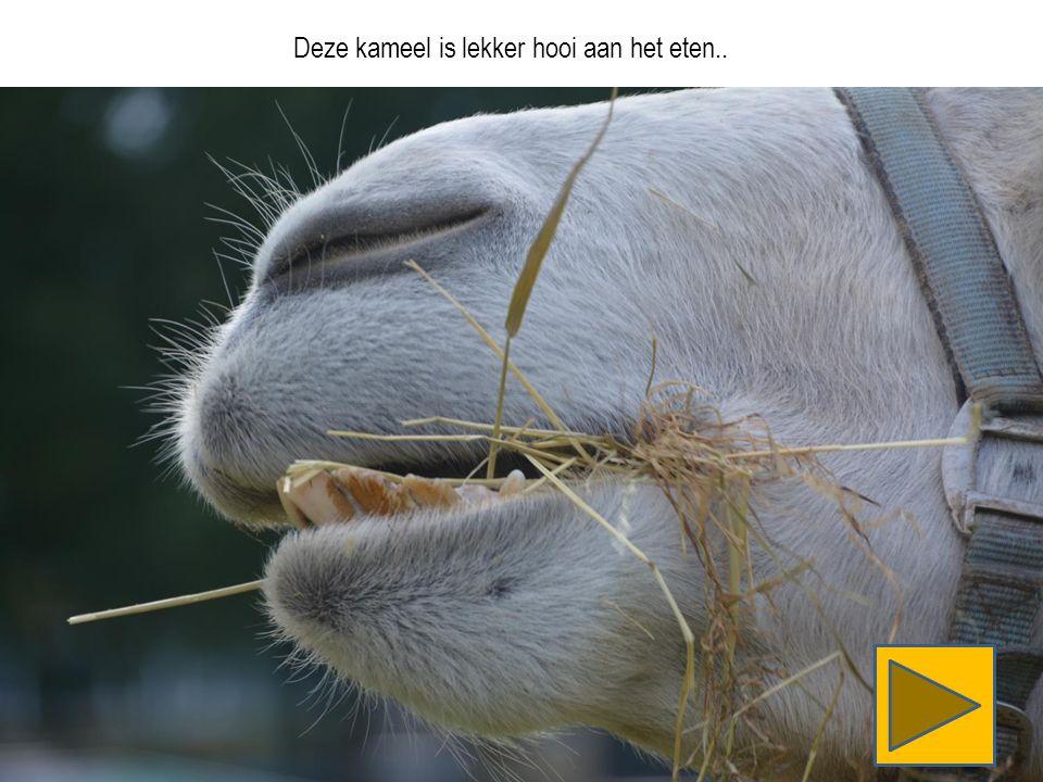 Deze kameel is lekker hooi aan het eten..