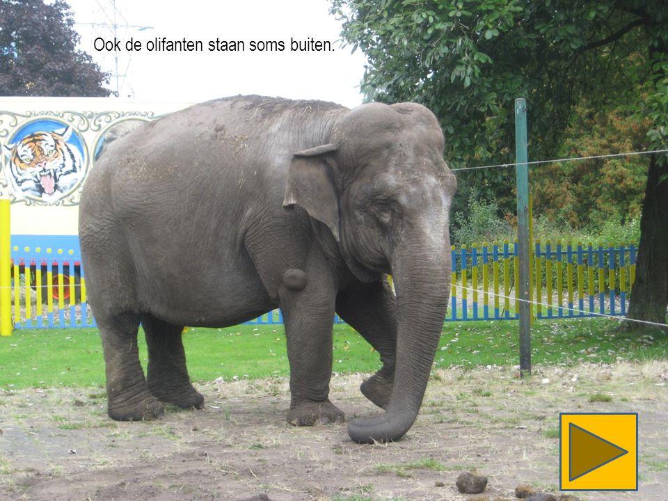 Ook de olifanten staan soms buiten.