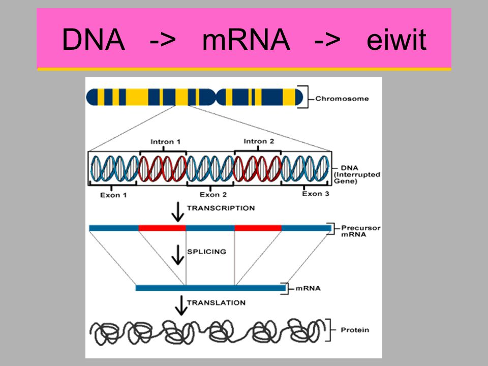 DNA -> mRNA -> eiwit