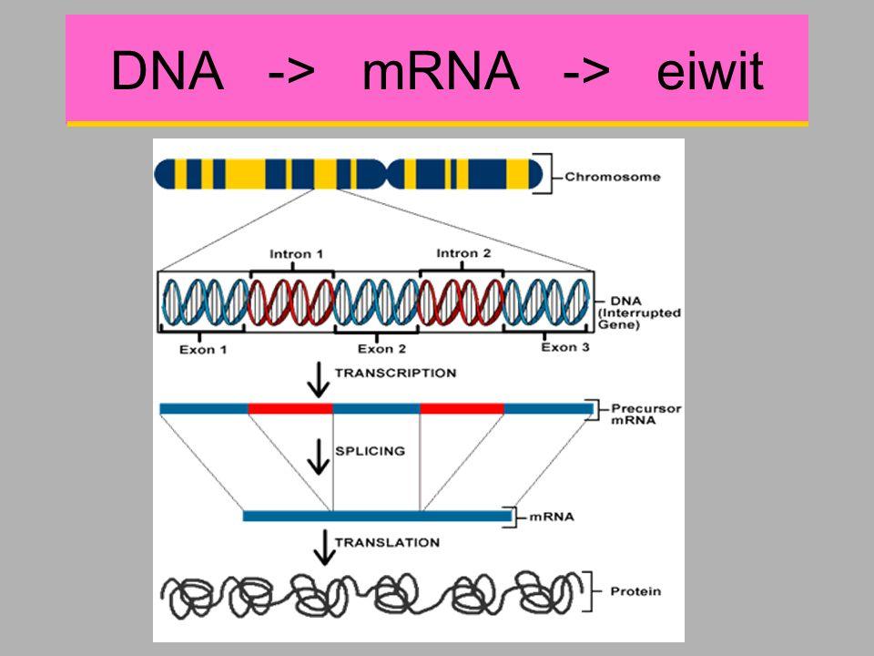 DNA -> mRNA -> eiwit