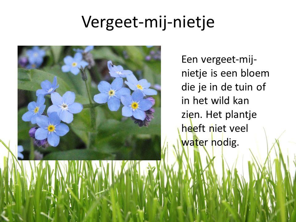 Vergeet-mij-nietje Een vergeet-mij- nietje is een bloem die je in de tuin of in het wild kan zien. Het plantje heeft niet veel water nodig.