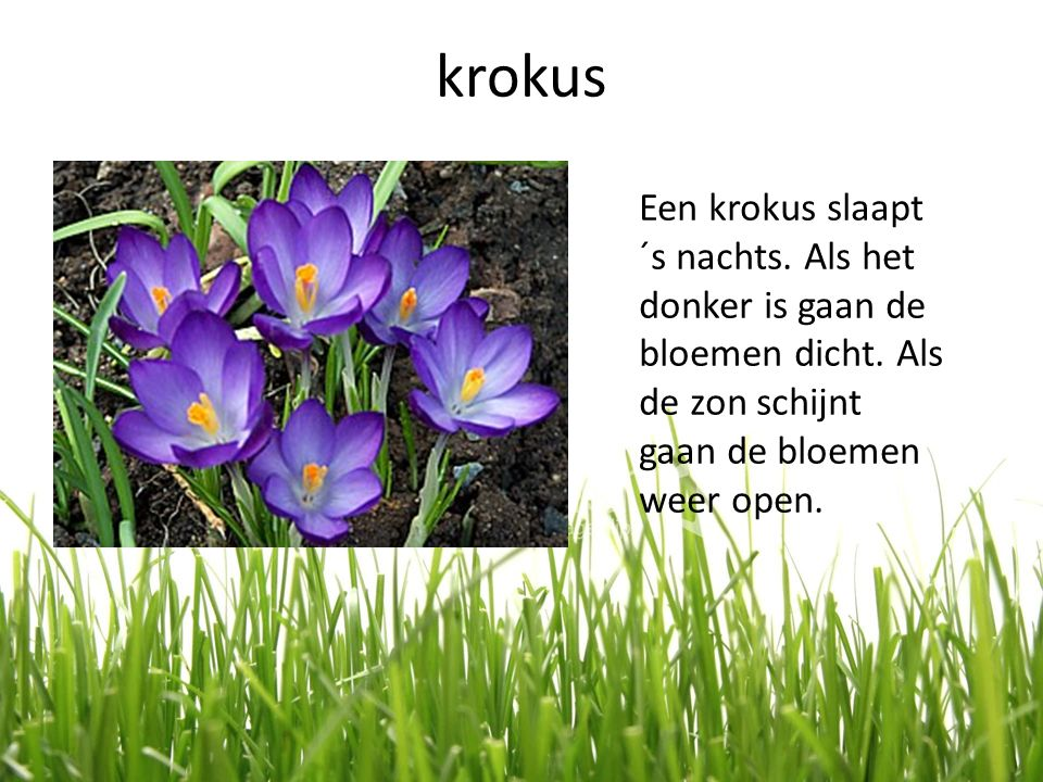 krokus Een krokus slaapt ´s nachts. Als het donker is gaan de bloemen dicht. Als de zon schijnt gaan de bloemen weer open.