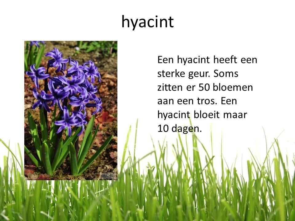 hyacint Een hyacint heeft een sterke geur. Soms zitten er 50 bloemen aan een tros.