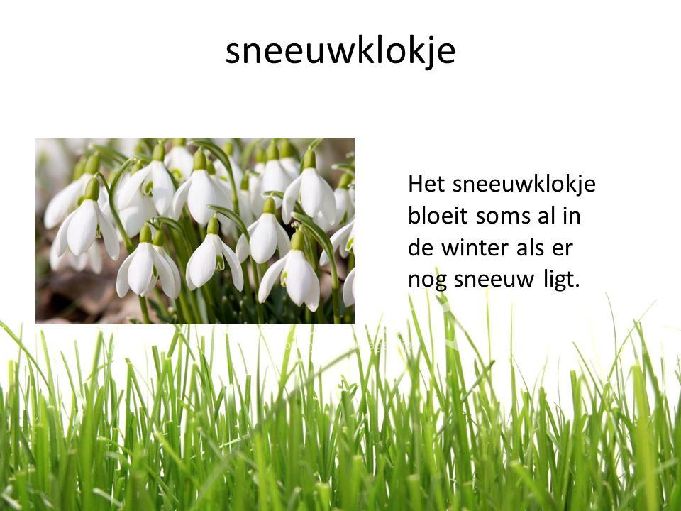 sneeuwklokje Het sneeuwklokje bloeit soms al in de winter als er nog sneeuw ligt.