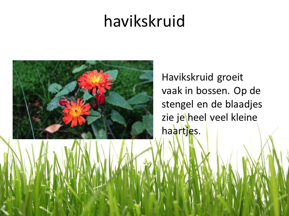 havikskruid Havikskruid groeit vaak in bossen.