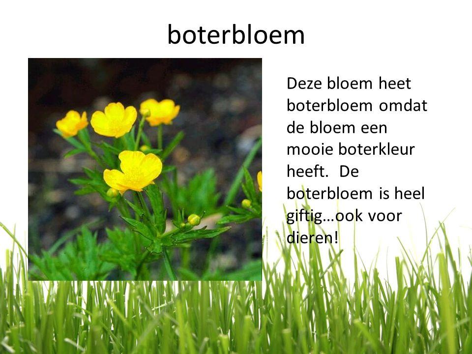 boterbloem Deze bloem heet boterbloem omdat de bloem een mooie boterkleur heeft. De boterbloem is heel giftig…ook voor dieren!
