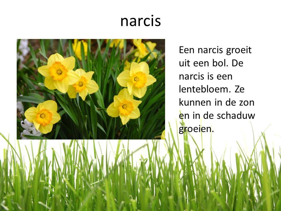narcis Een narcis groeit uit een bol. De narcis is een lentebloem. Ze kunnen in de zon en in de schaduw groeien.