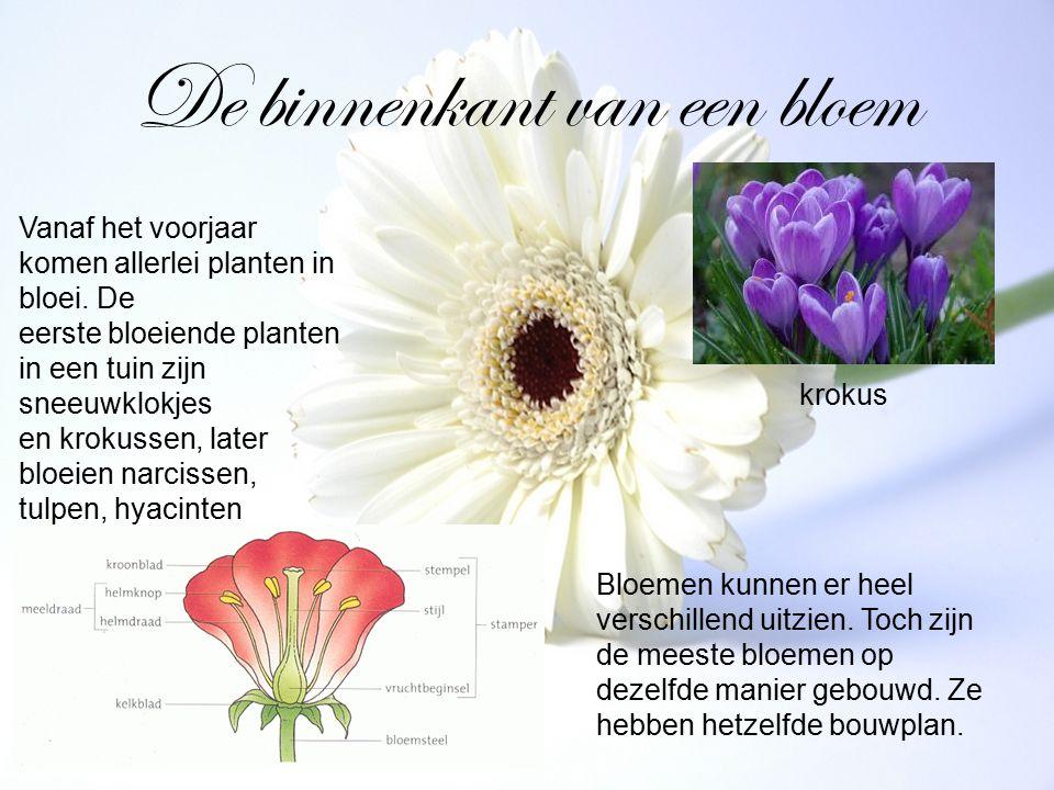 De binnenkant van een bloem Vanaf het voorjaar komen allerlei planten in bloei. De eerste bloeiende planten in een tuin zijn sneeuwklokjes en krokusse