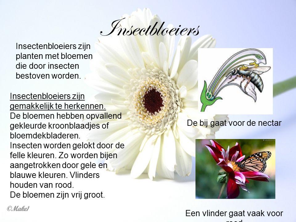 Insectbloeiers Insectenbloeiers zijn planten met bloemen die door insecten bestoven worden. Insectenbloeiers zijn gemakkelijk te herkennen. De bloemen