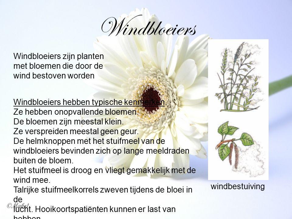 Windbloeiers windbestuiving Windbloeiers zijn planten met bloemen die door de wind bestoven worden Windbloeiers hebben typische kenmerken. Ze hebben o