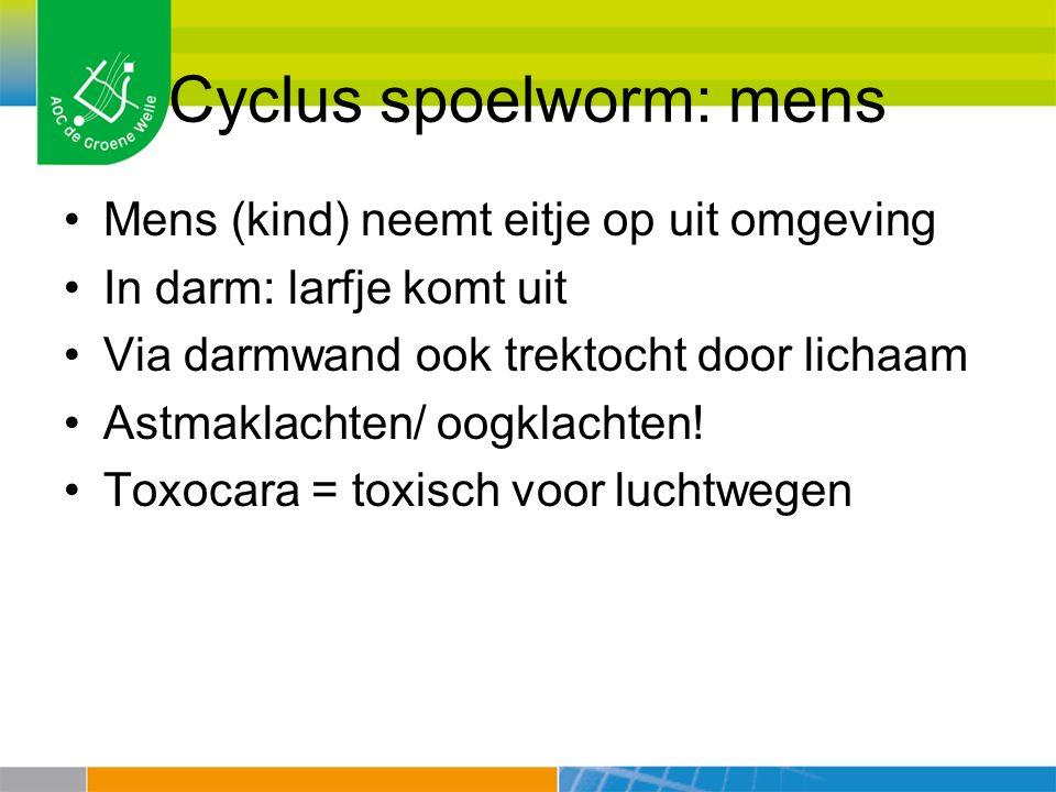 Cyclus spoelworm: mens Mens (kind) neemt eitje op uit omgeving In darm: larfje komt uit Via darmwand ook trektocht door lichaam Astmaklachten/ oogklac