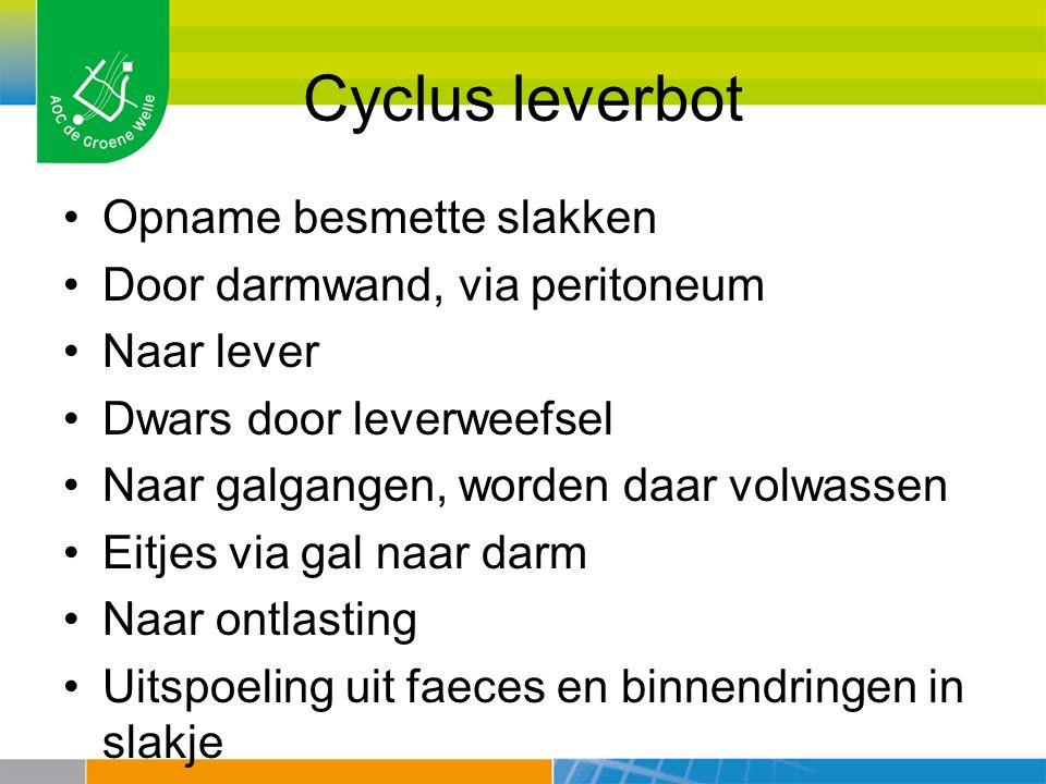 Cyclus leverbot Opname besmette slakken Door darmwand, via peritoneum Naar lever Dwars door leverweefsel Naar galgangen, worden daar volwassen Eitjes