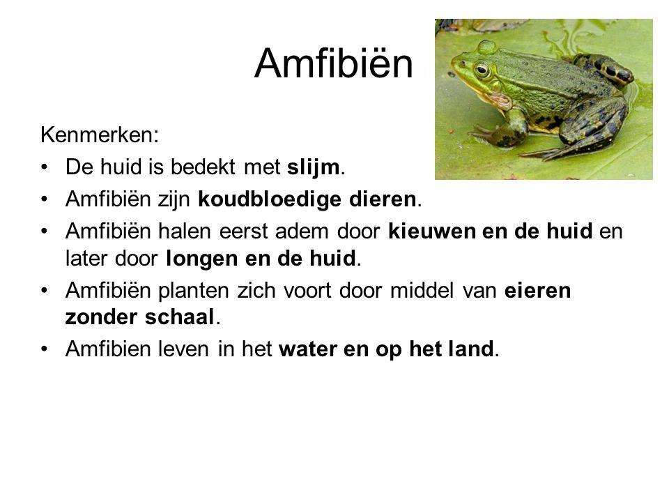 Amfibiën Kenmerken: De huid is bedekt met slijm. Amfibiën zijn koudbloedige dieren. Amfibiën halen eerst adem door kieuwen en de huid en later door lo