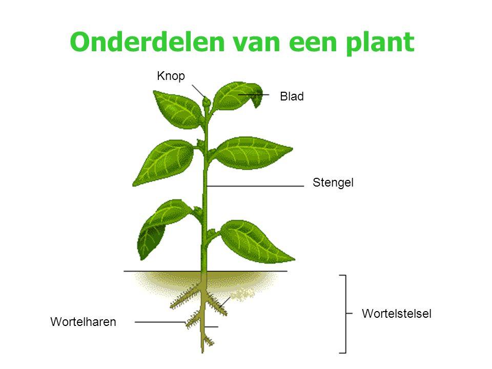 Onderdelen van een plant Wortelstelsel Wortelharen Stengel Blad Knop