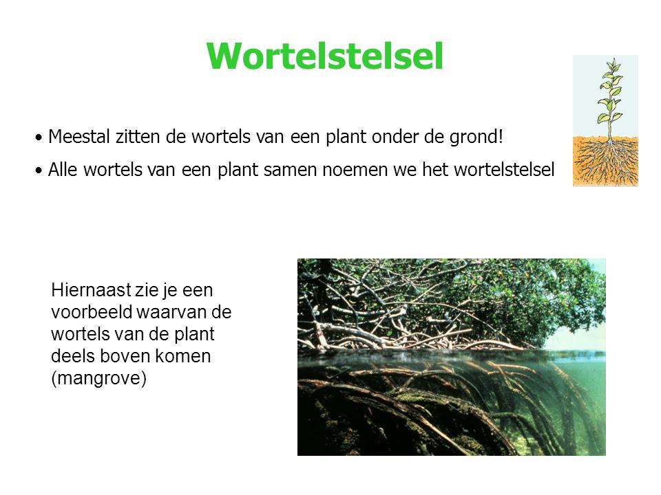 Wortelstelsel Meestal zitten de wortels van een plant onder de grond.
