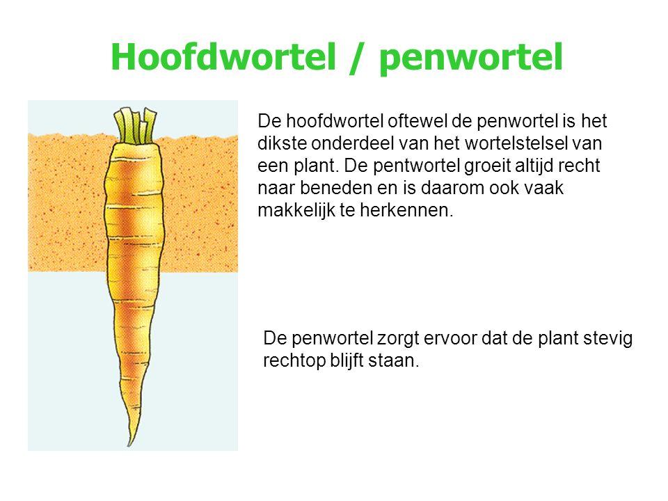 Hoofdwortel / penwortel De hoofdwortel oftewel de penwortel is het dikste onderdeel van het wortelstelsel van een plant. De pentwortel groeit altijd r