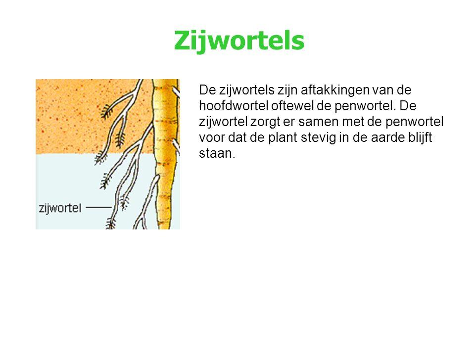 Zijwortels De zijwortels zijn aftakkingen van de hoofdwortel oftewel de penwortel. De zijwortel zorgt er samen met de penwortel voor dat de plant stev