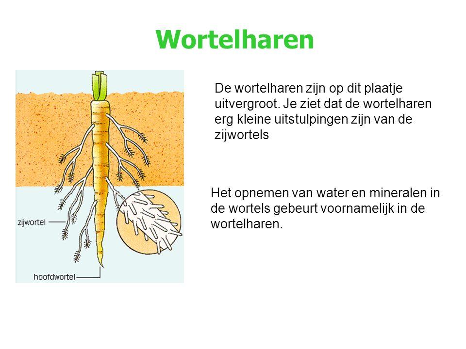 Wortelharen Het opnemen van water en mineralen in de wortels gebeurt voornamelijk in de wortelharen.